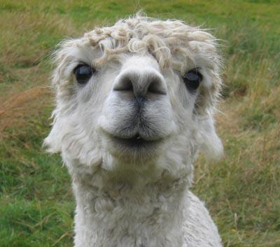 happyalpaca3