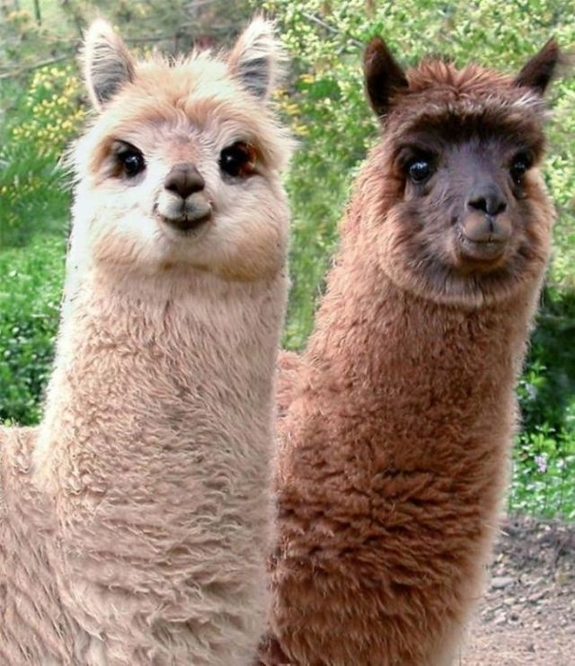 How Many Smiling Alpacas Can we fit into One Simple Prayer ...