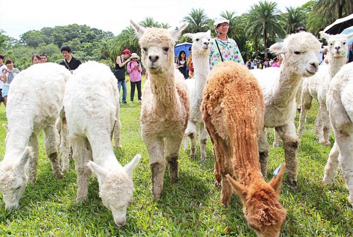 walkingalpacas