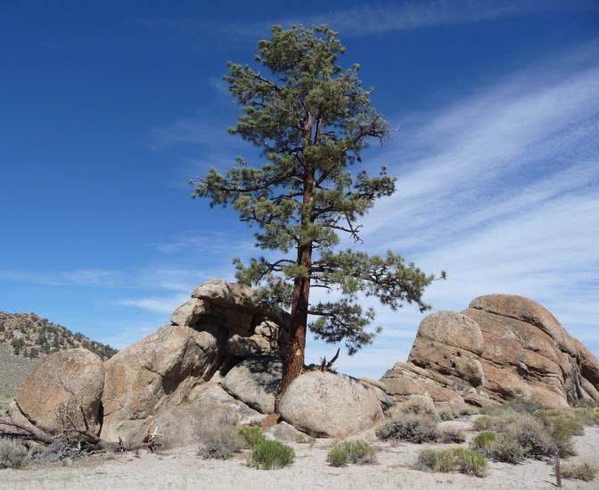 Granite_Mountain,_Mono_County,_California_-_granitic_outcrop_with_tree