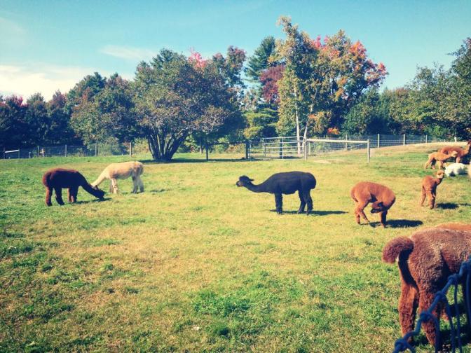 Contemplative Alpacas