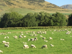 field-of-sheep